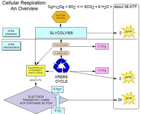 cellular respiration diagram worksheet worksheets for all