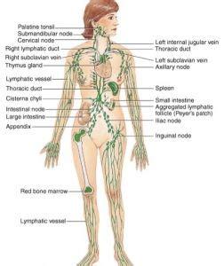 lymph node diagram  body tvetxs human lymph nodes