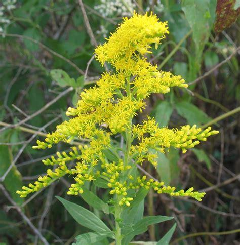 golden rod using georgia native plants go for goldenrod