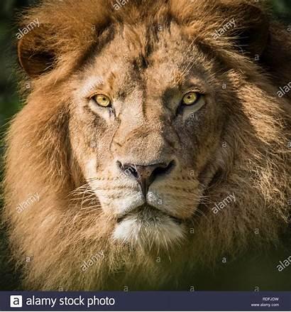 Lion Fierce Camera Staring Portrait Into Alamy
