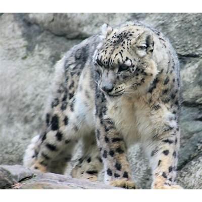 Snow LeopardFun Animals Wiki Videos Pictures Stories