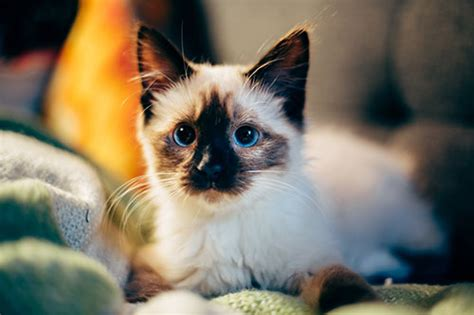 This service automatically rotates, optimizes and scales down. 100 Curiosos Nombres para Gatos Siameses - Host a Pet