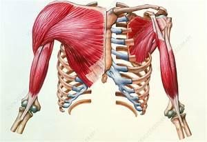 Artwork Of Skeleton  U0026 Muscles Of Chest  U0026 Upper Arm