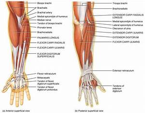 84 Best Muscle Anatomy Images On Pinterest