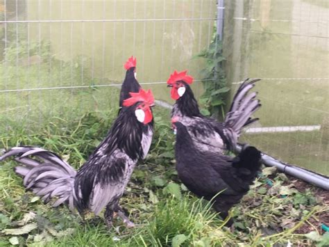 bantam pol andalusian breed rare sheffield pets4homes chickens poultry months ago