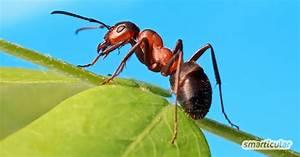 Ameisen Im Haus Ursache : ameisen vertreiben ohne gift 10 nat rliche hausmittel ~ A.2002-acura-tl-radio.info Haus und Dekorationen