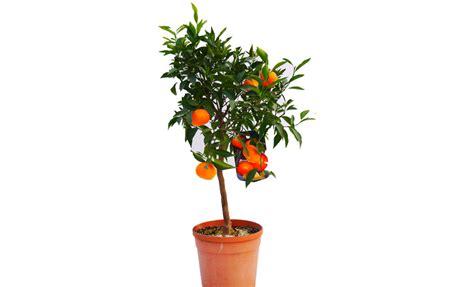 pianta di mandarino in vaso pianta di mandarino avana apireno in vaso 20 22 cm
