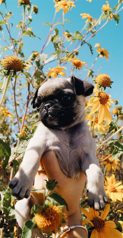 Adorable Puppy Lock Screen Wallpaper Iphone by Pug Puppy Flower Wallpaper Wallpaper
