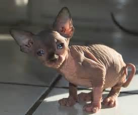 hairless cats hairless cat breeds