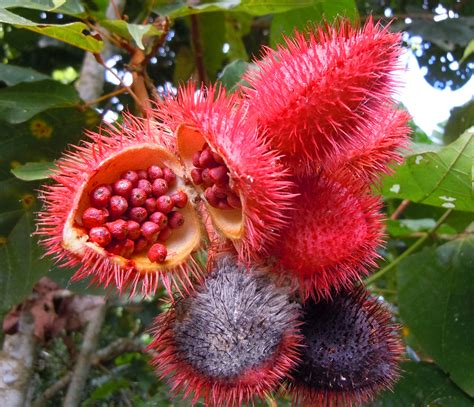 what is achiote annatto center for amazon community ecology