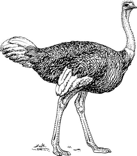 dibujos de avestruces avestruzpedia