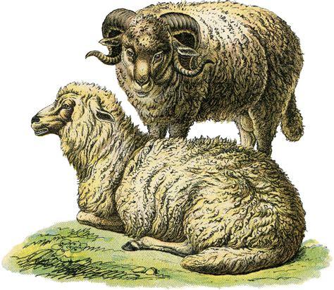 Realistic Sheep Illustration - The Graphics Fairy