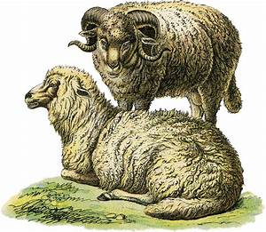 Realistic Sheep Illustration