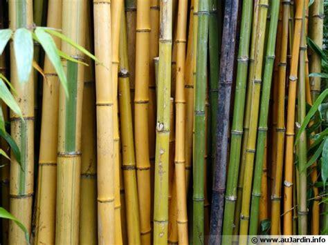 bambou conseils de culture