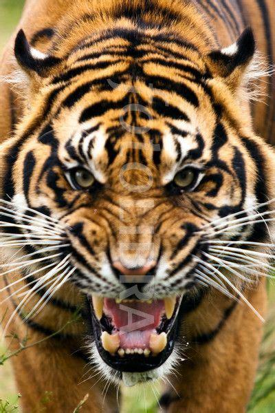 Fierce Angry Tiger Google Search Art Murals Bulletin