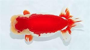 Most Common Goldfish Types - Aquariumbase