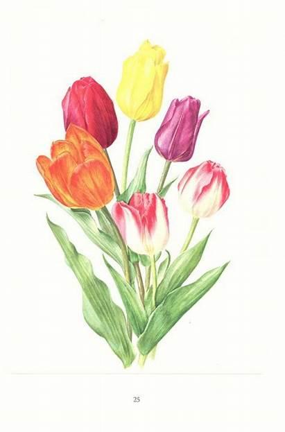 Bing Tulips Tulip Botanical Orange Flowers Spring