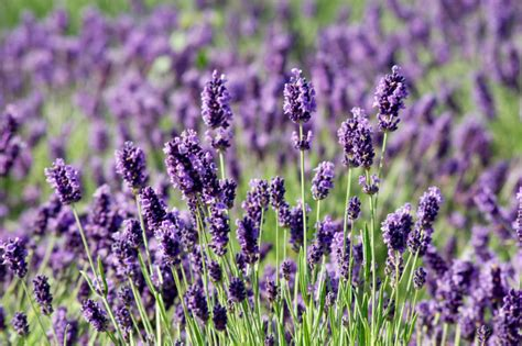 when do you plant lavender growing lavender in florida everything you need to know about