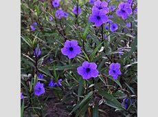 Ruellia brittoniana 'Purple Showers' Avant Gardens