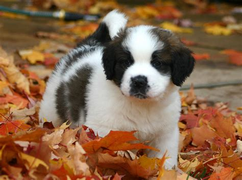Filest Bernard Puppy Jpg