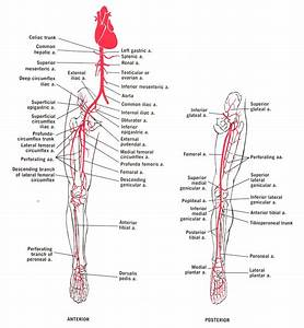 6 Best Images Of Vascular Anatomy Diagram Lower