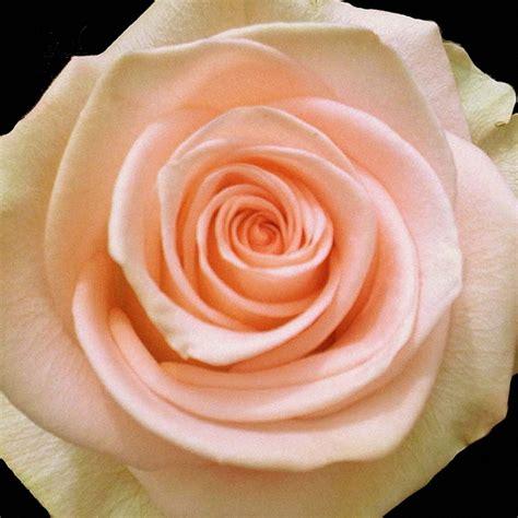 attractive peach rose weneedfun