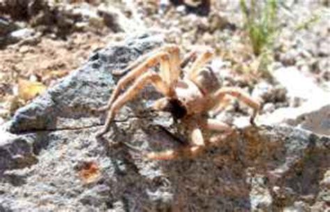 sonoran desert spiders aphonopelma chalcodes arizona blond tarantula desert tarantula