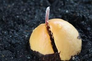 Avocado Pflanze Pflege : avocadokern einpflanzen avocado pflanze z chten ~ Lizthompson.info Haus und Dekorationen
