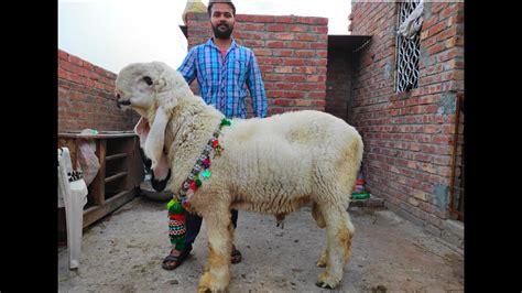 SHOOQ WALI QURBANI BAKRA EID 2020 | Kajla Chatra Palai ...