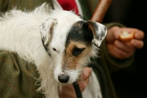 working jack russell terrier  characteristics set