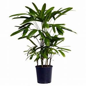 Rhapis Palm (Lady Palm) - Buy Indoor Outdoor Palms Online