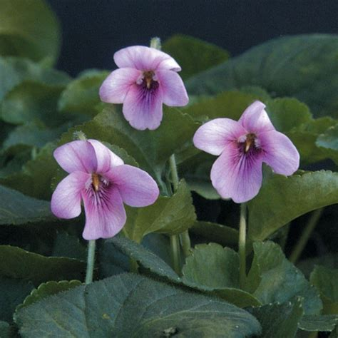 viola pink violet odorata fragrant violets rosea flowers plants leaves zone scented heart shaped flower plant wild leaf planting hardiness