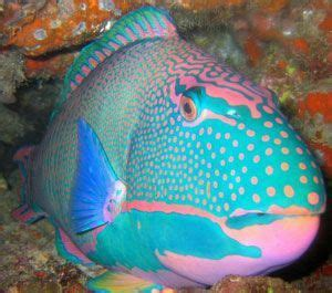 pink baby blue parrotfish parrot fish colorful fish