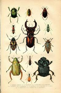 1891 Antique Entomology Print  Scarabs  Beetle  Coleoptera