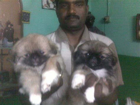 pekingese puppies  salejayachandran  dogs