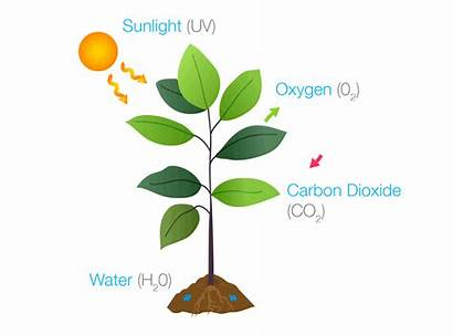 Photosynthesis Plants Sun Animated Write Sunlight Source