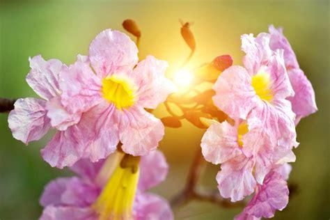 ชมพูพันธุ์ทิพย์ ต้นชมพูพันธุ์ทิพย์ ดอกสีชมพู บานปีละครั้ง ...