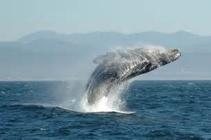 クジラ:File:Jumping Humpback whale.jpg - Wikimedia Commons