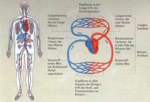 sofa italienisch das blutgefäßsystem biologie lernen