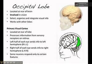 The Brain The Occipital Lobe