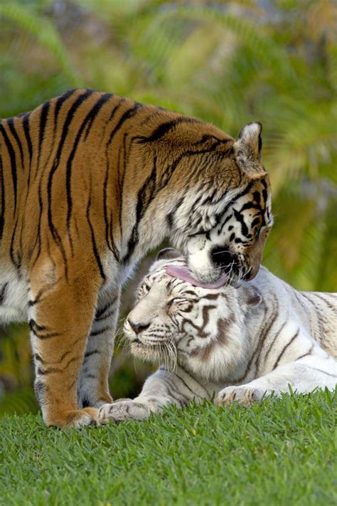 Best Tigers Images Pinterest Wild Animals Animal
