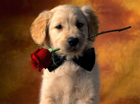 Rules Of The Jungle Golden Retriever Puppies
