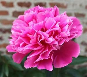 Langage Des Fleurs Pivoine : pin by ghyslaine fortin on flowers ~ Melissatoandfro.com Idées de Décoration