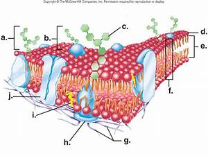 Can Anyone Label This Diagram  Plasma Membrane  Or Find The Labeled One