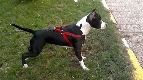 american pitbull terrier sila youtube