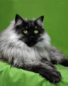 The gallery for --> Black Smoke Siberian Cat