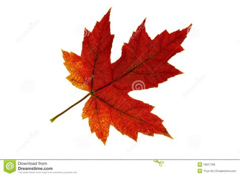chagne colored tree single maple leaf changing fall color 2 royalty free stock