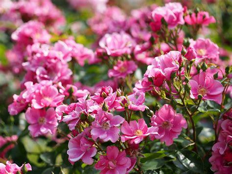 flower bushes rose bush flower buds wallpaper 3600x2700 132765 wallpaperup