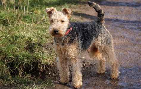 Lakeland Terrier Information Dog Breed Atlas