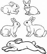 Rabbit Bunny Drawing Coloring Pages Template Rabbits Templates Jumping Peter Colouring Standing Nose Animal Bunnies Drawings Draw Printable Walking Easter sketch template